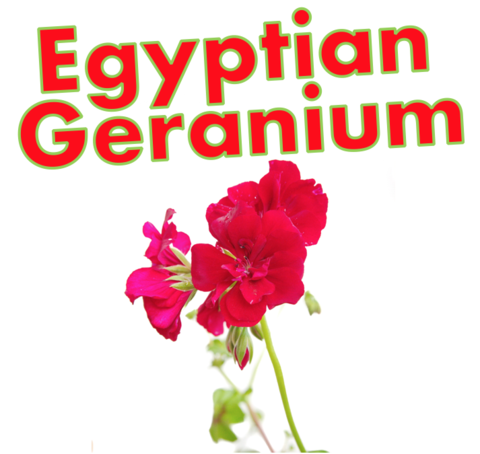 Egyptian Geranium (Natural)